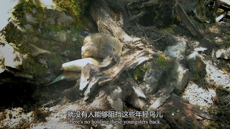 BBC纪录片《新西兰:神话之岛 New Zealand: Earth's Mythical Islands》全3集 英语中英双字 1080P/MP4/4.42G 新西兰纪录片下载插图(5)
