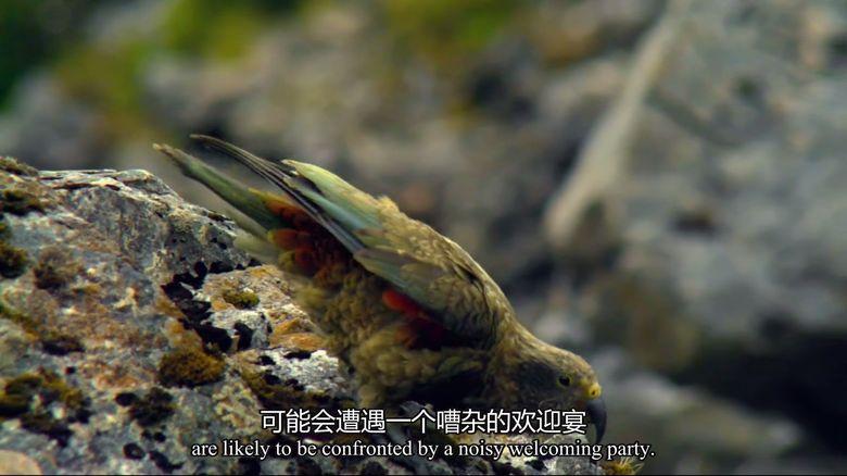 BBC纪录片《新西兰:神话之岛 New Zealand: Earth's Mythical Islands》全3集 英语中英双字 1080P/MP4/4.42G 新西兰纪录片下载插图(4)