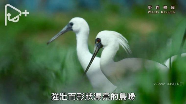 PTS纪录片《野性韩国 Wild Korea 2019》全2集 国语中字 1080P/AVI/6.38G 南韩自然生态与人文插图(6)