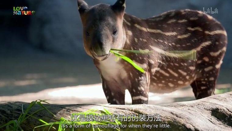 BBC纪录片《动物宝宝 Animal Babies 2016》全13集 英语中英双字 720P/MP4/854M 野生动物幼崽们插图(7)