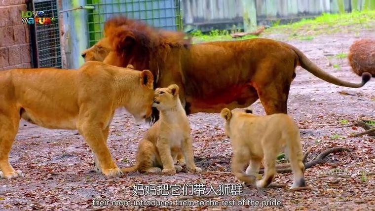 BBC纪录片《动物宝宝 Animal Babies 2016》全13集 英语中英双字 720P/MP4/854M 野生动物幼崽们插图(3)