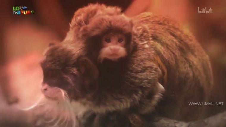 BBC纪录片《动物宝宝 Animal Babies 2016》全13集 英语中英双字 720P/MP4/854M 野生动物幼崽们插图(1)