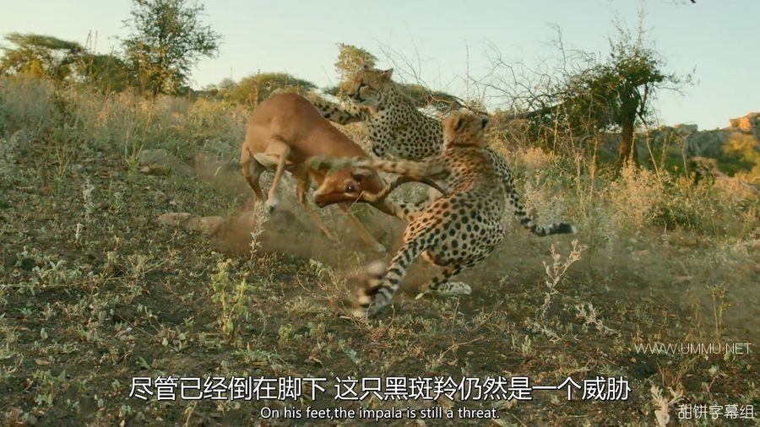 BBC纪录片《捕猎皇后 Fierce Queens 2020》全7集 英语中英双字 1080P/MP4/805M 动物的捕猎生活插图(1)